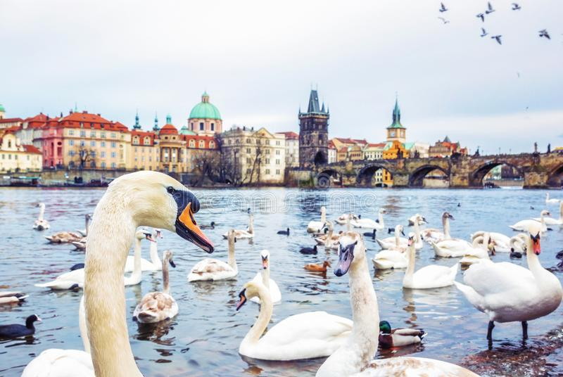 Swans in Vltava river and Charles bridge in Prague royalty free stock images