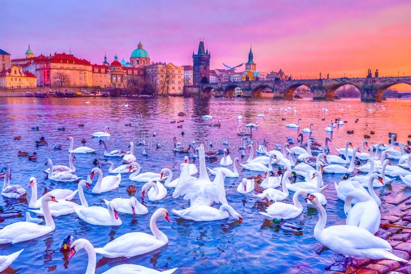 Swans on Vltava river, Charles Bridge at sunset in Prague, Czech Republic. Swans on Vltava river, towers and Charles Bridge at sunset in Prague, Czech Republic royalty free stock images