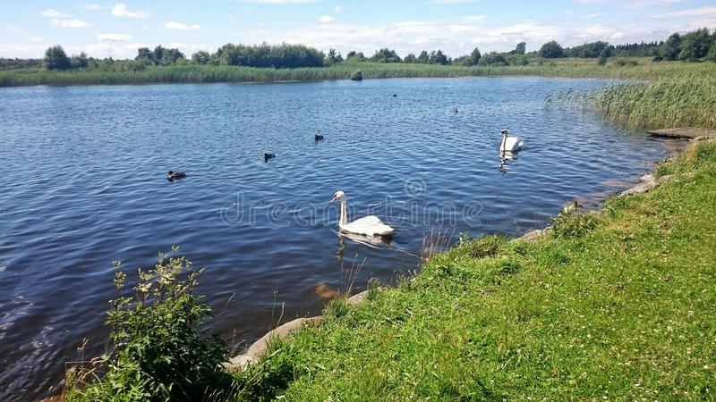 Swans on water royalty free stock photos