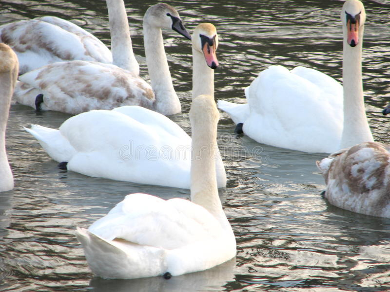 swans water white royaltyfri foto