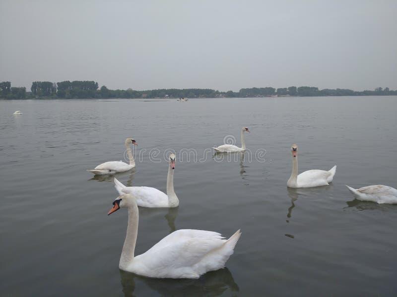 Swans, white beautiful birds on the Danube river, Zemun, Serbia royalty free stock image