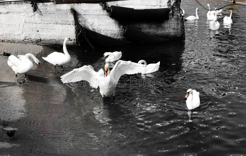 Swans. White swans swim at the dock and walk near water. One of the swans stretched its wings royalty free stock photo