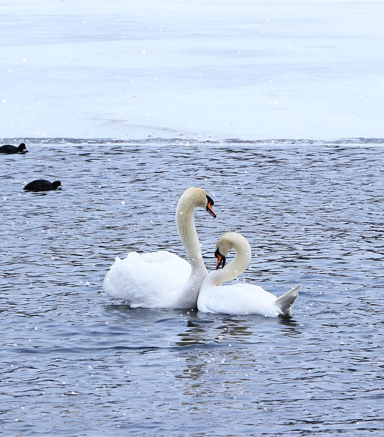 Swans on a winter lake. royalty free stock image
