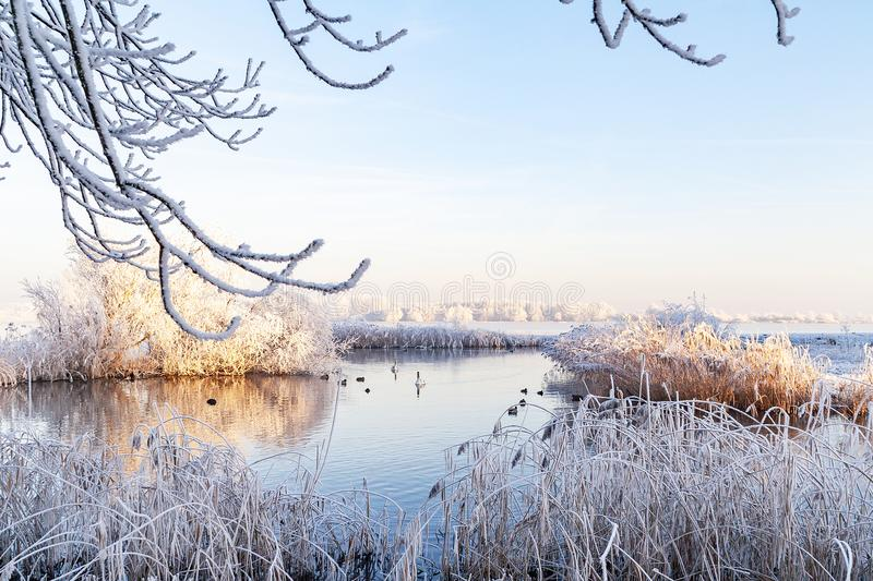 Swans in a winter Lake stock photos