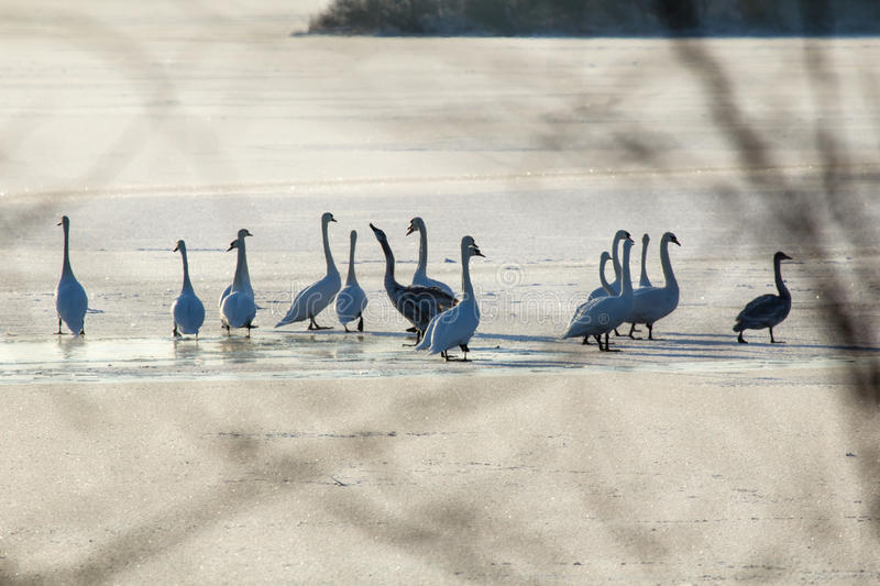 Swans on wintering royalty free stock photos