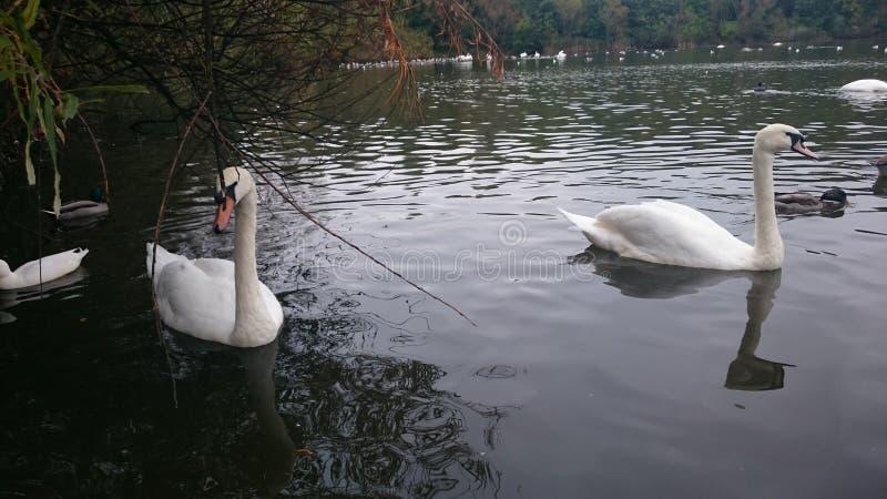 Swansea-Schwäne stockbild