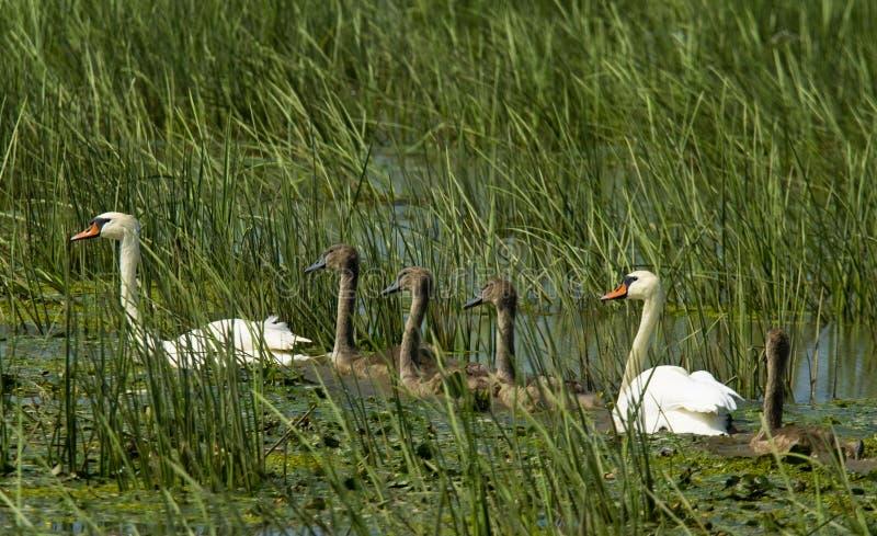 Swansfamilj arkivbild