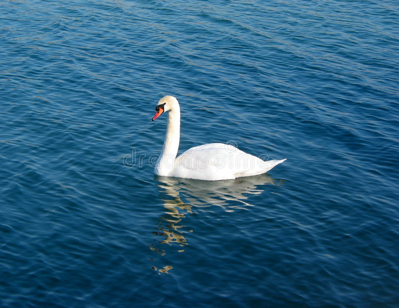 Download Swanvatten arkivfoto. Bild av vitt, reflexioner, swan, stillhet - 503874