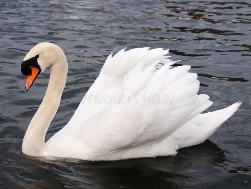 swanwhite arkivfoto