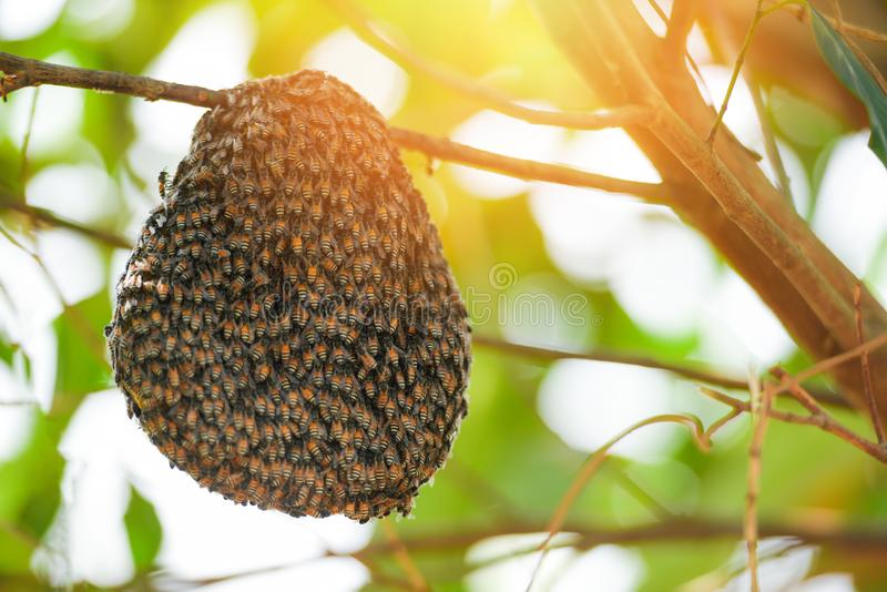 Swarm beehive Honeycomb on tree nature green. Background royalty free stock image
