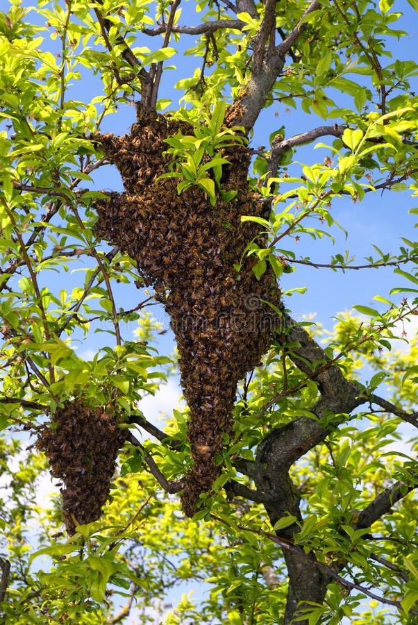 Swarm of bees. On the tree royalty free stock image