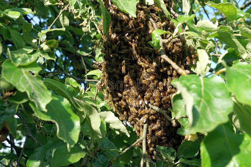Swarm of bees hangs from tree. Swarm of honey bees hangs from apple tree royalty free stock image