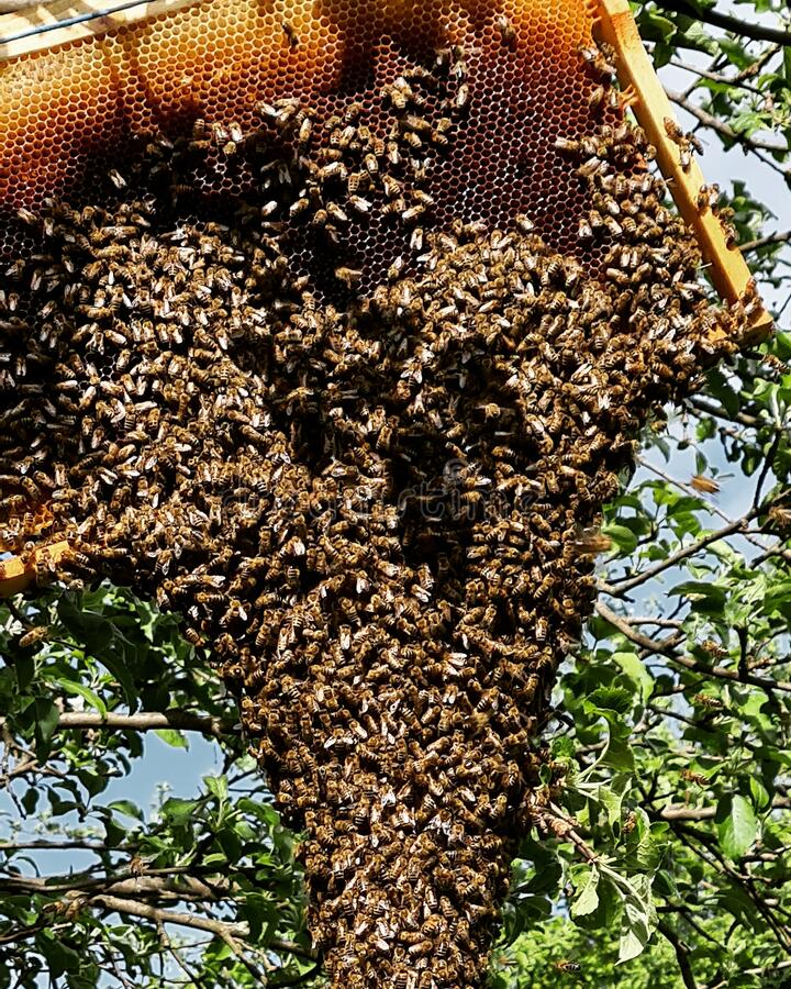 Swarm of bees. Leaving the hive with their queen bee and resting in a tree royalty free stock image