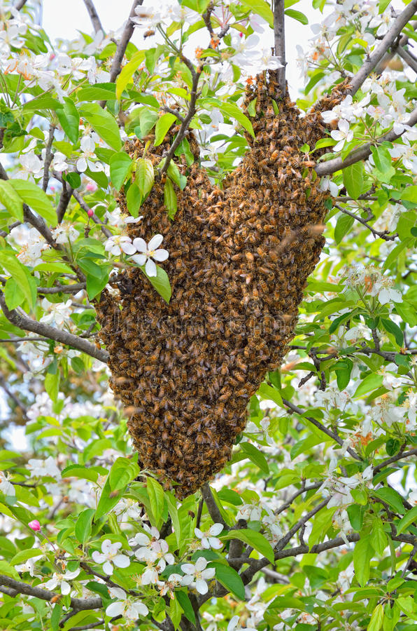 Swarm of bees. Over the tree in countryside stock photos