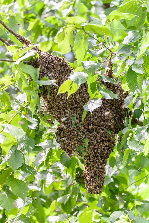 Swarm of bees in a tree royalty free stock photography