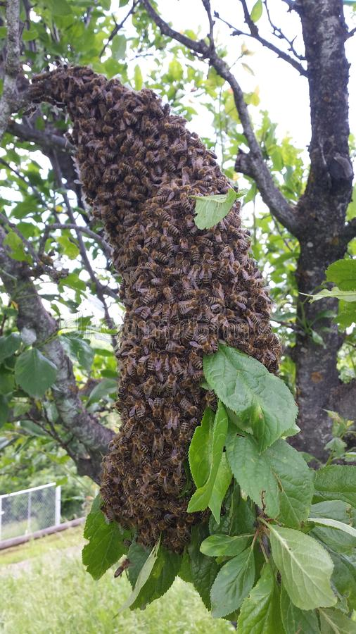 Swarm of bees. A swarm of bees in a tree in the yard stock image