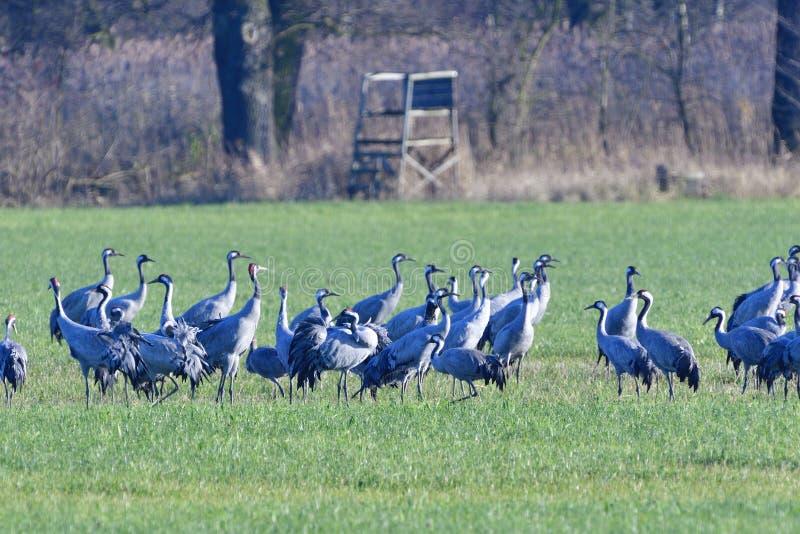 A swarm of Common crane stock photo