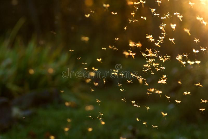 Swarm of crane flies royalty free stock photography