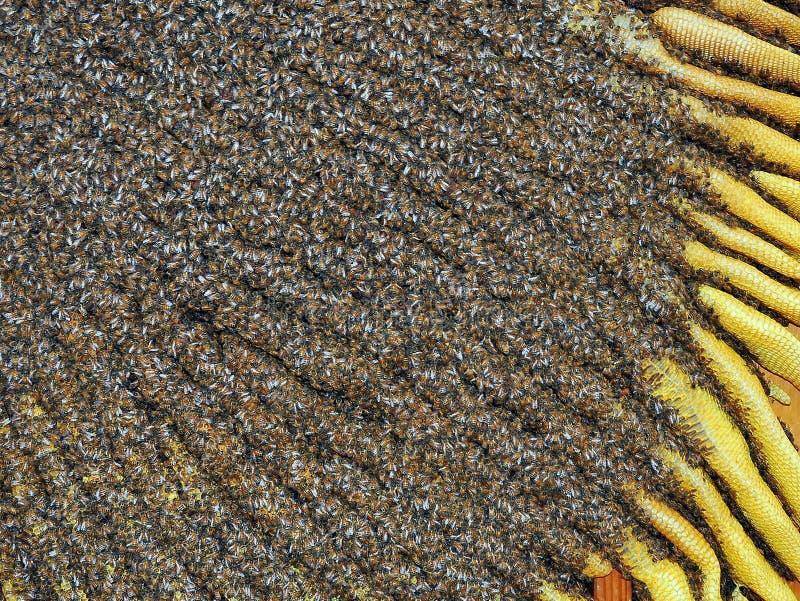Swarm of Honey Bees. Massive swarm of honey bees royalty free stock image