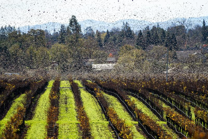 Swarm III. Vaux`s swifts fly in a frenzy over a vineyard. Sonoma County, California, USA royalty free stock photos
