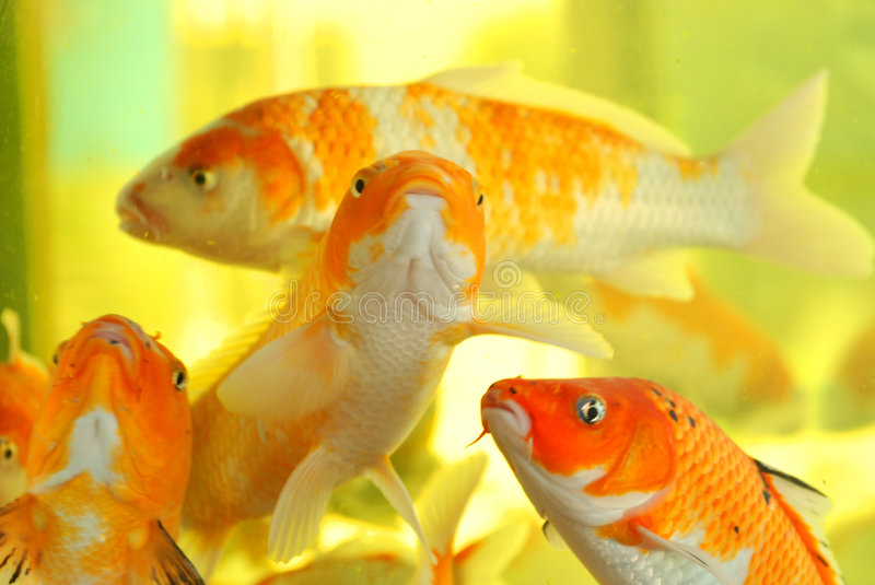 A swarm of koi fish. A swarm of colorful koi fish swim leisurly in the clear water of an aquarium royalty free stock photos