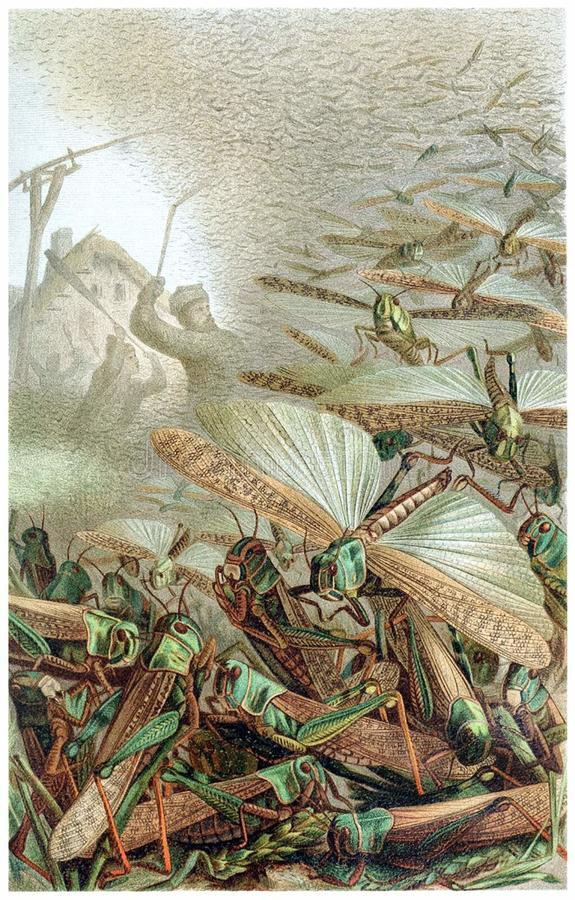 A Swarm of Locusts stock image