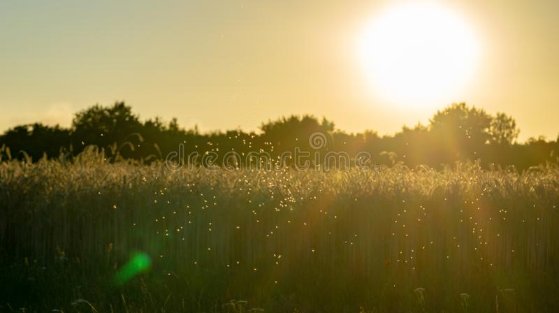 Swarm of mosquitos at a corn field - backlight during evening hours. Sunset stock image