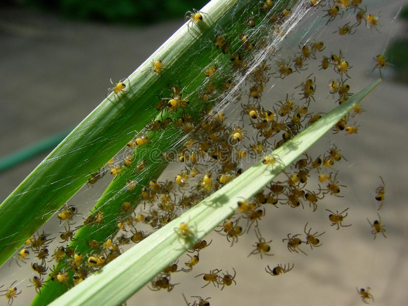 Baby Spiders Hatching royalty free stock photos