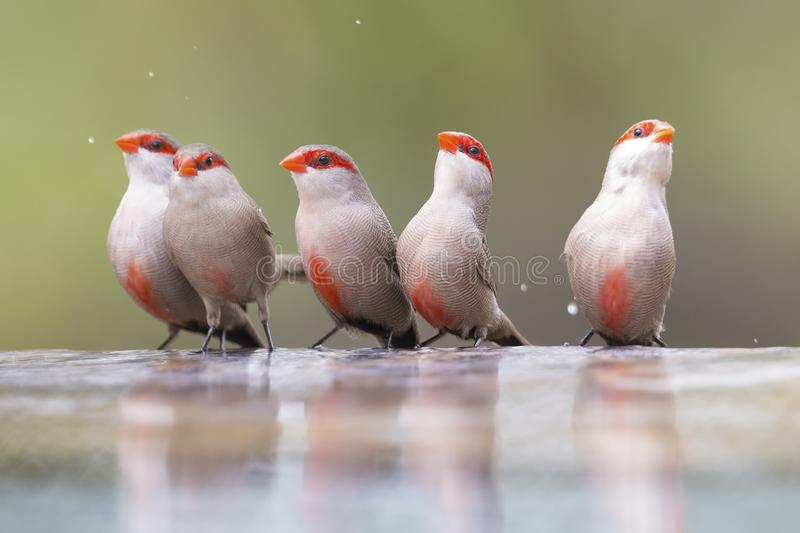 Download Swarm Of Small And Beautiful Common Waxbill Drinking Water At Po Stock Photo - Image of environment, adult: 109062496