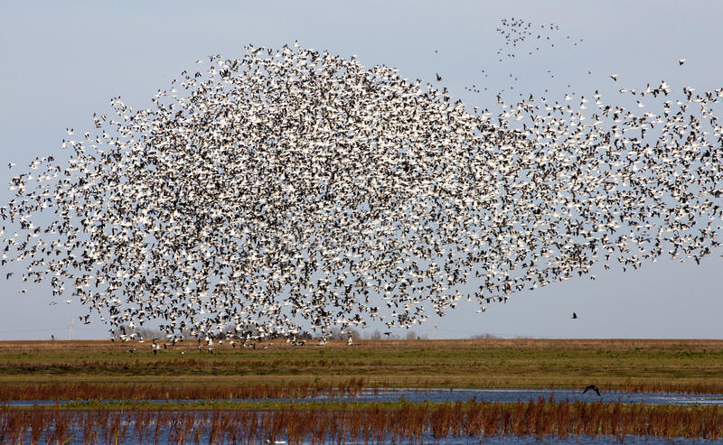 Swarm of Snow Geese royalty free stock photo