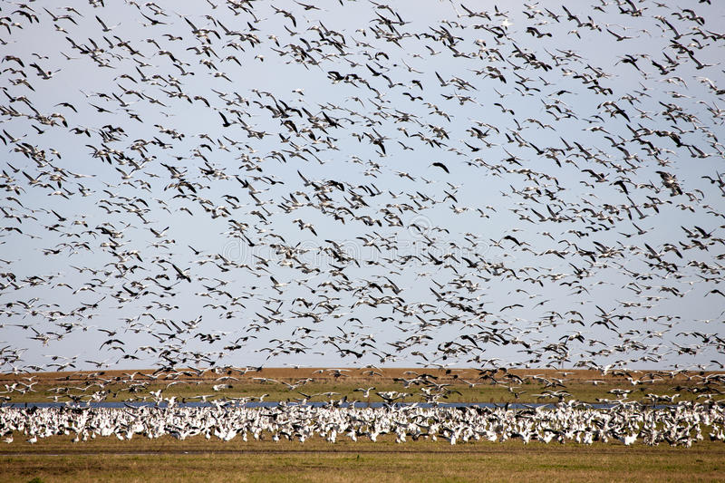 Swarm of Snow Geese stock photography