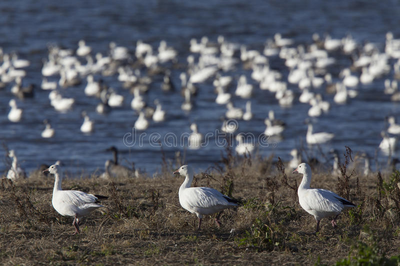 Swarm of Snow Geese stock image