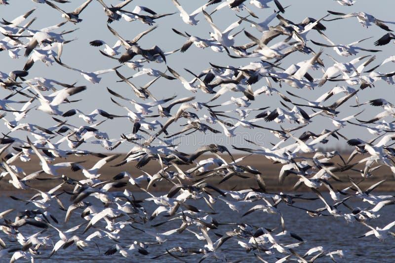 Swarm of Snow Geese stock photo