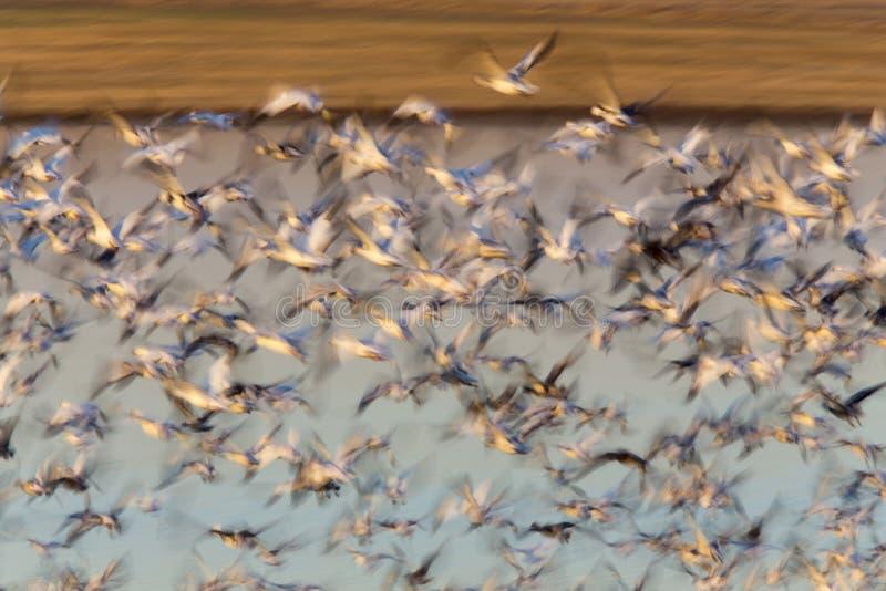 Swarm of Snow Geese royalty free stock photos