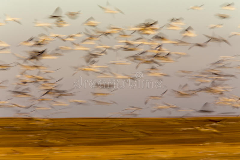 Swarm of Snow Geese royalty free stock photography