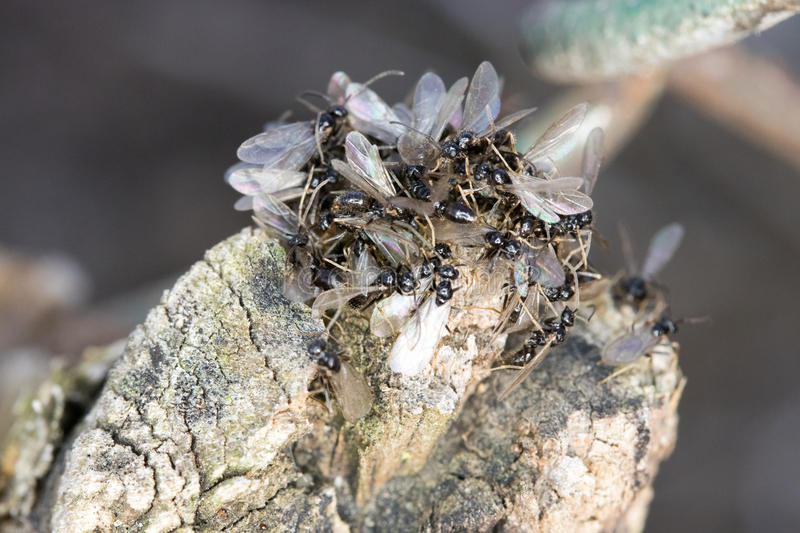 Swarming Pavement Ants. Brown to black with pale brown legs and antennae, 1/8-inch long pavement ants can be seen swarming over sidewalks and patios in the royalty free stock photo