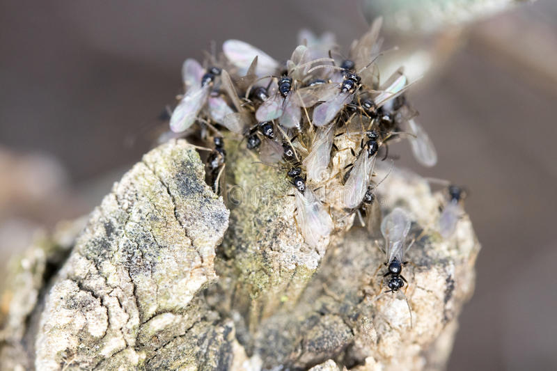 Swarming Pavement Ants. Brown to black with pale brown legs and antennae, 1/8-inch long pavement ants can be seen swarming over sidewalks and patios in the royalty free stock photography