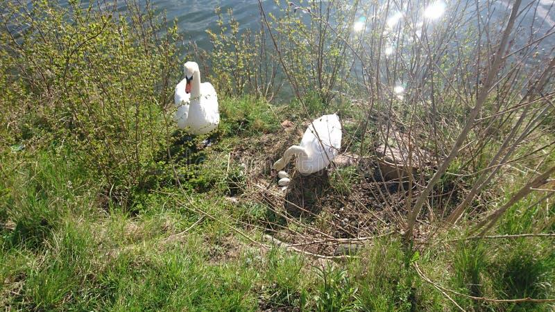 Swarnfamilie dicht bij het meer stock afbeeldingen