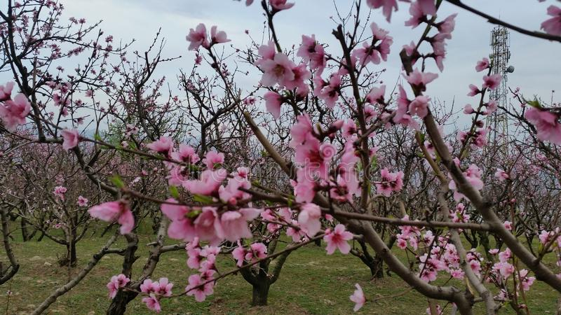 Swat are gloomy about peach this season. Swat valley provides some of the best peaches to the country's fruit markets from late May to September. Besides royalty free stock photo