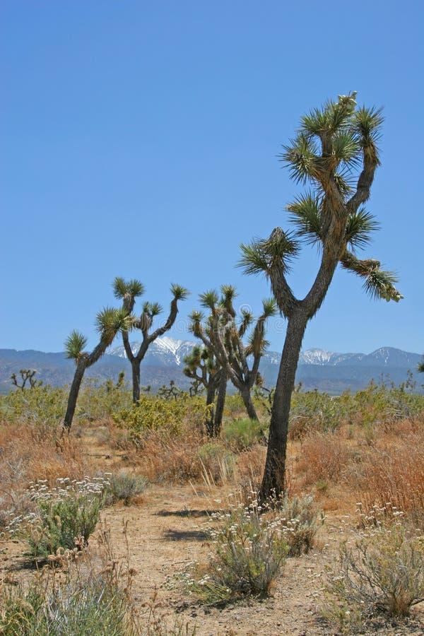 Download Swaying Joshua Trees stock image. Image of california, antelope - 150769
