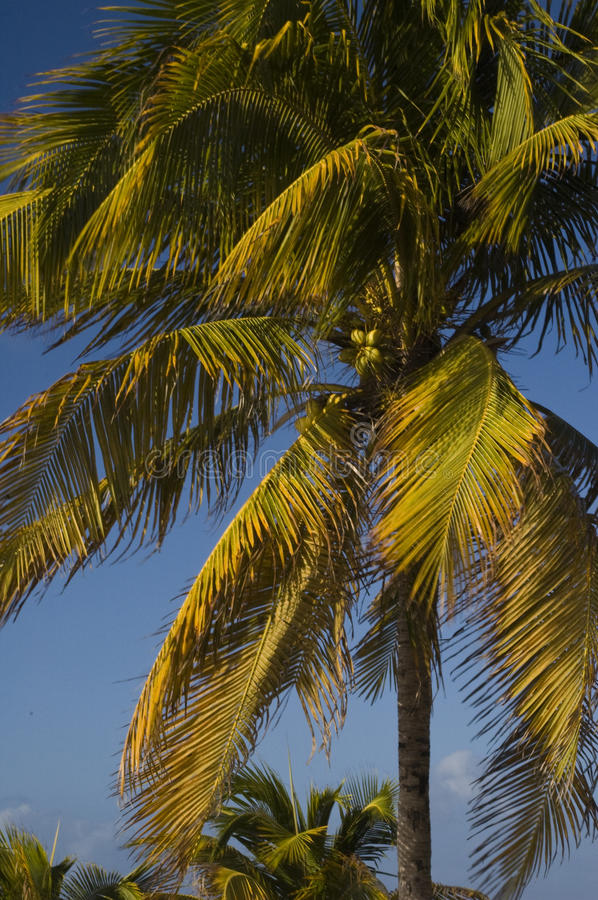Download Swaying Palm stock photo. Image of serene, ocean, travel - 12762194