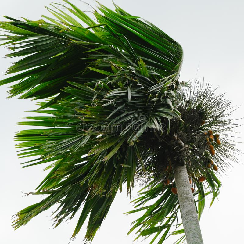 Swaying palm tree in storm, palm tree in blowing wind royalty free stock photos