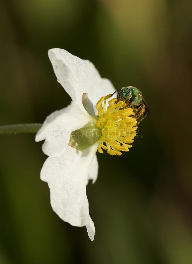Sweat Bee and arrowhead flower. A beautiful green Halictid sweat bee pollinating a pretty arrowhead flower in a swamp in Tampa, Florida stock photos