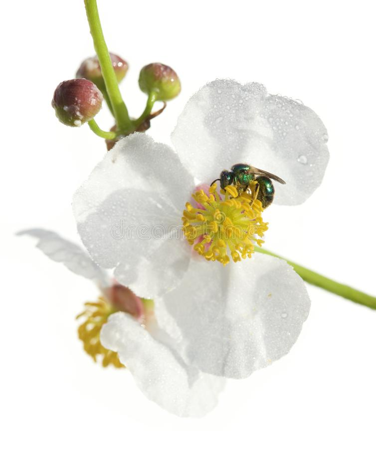 Sweat Bee and arrowhead flower on white. A beautiful green Halictid sweat bee pollinating a pretty arrowhead flower in a swamp in Tampa, Florida royalty free stock photos