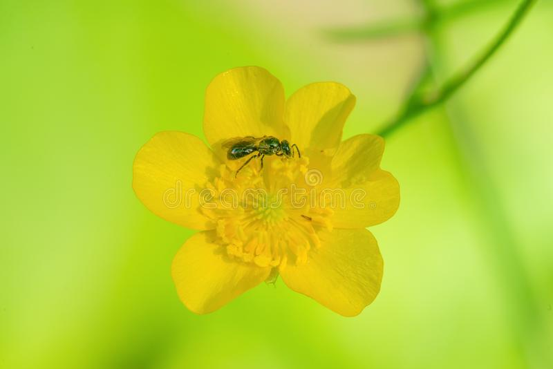 Sweat bee in the pollen of a yellow flower with a pretty light green background / bokeh - Porcupine Mountains Wilderness State Par royalty free stock images