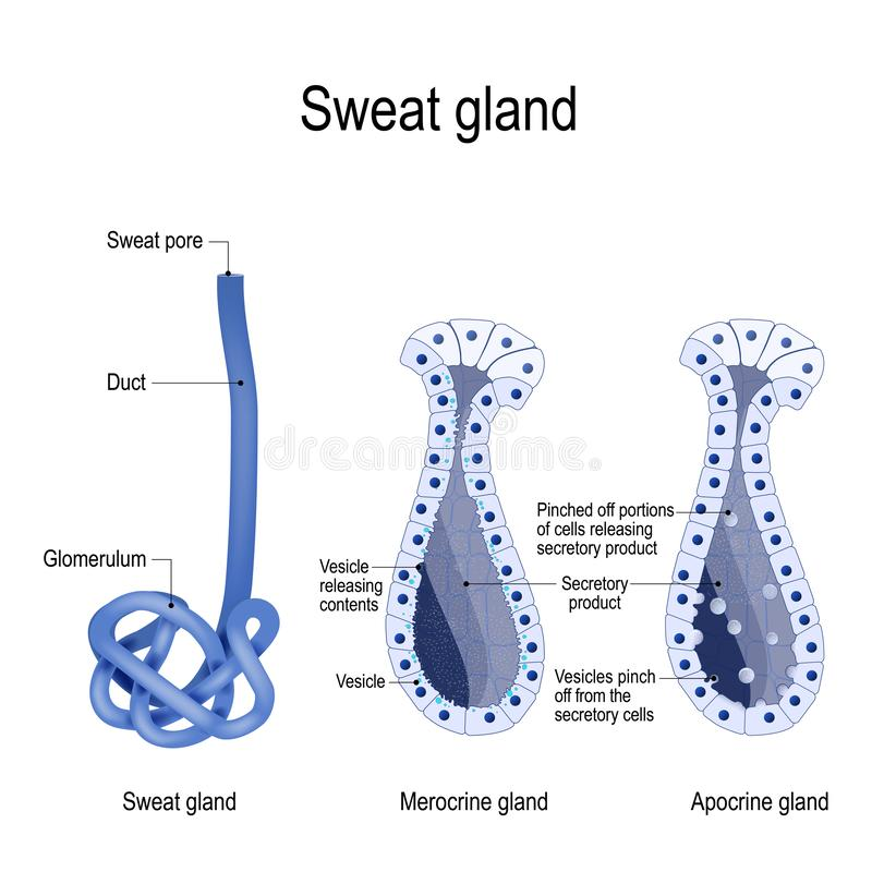 Sweat gland. cross-section. Sweat gland. Merocrine and apocrine. different of manner of secretion. cross-section of the human skin, with the sweat gland. Close vector illustration