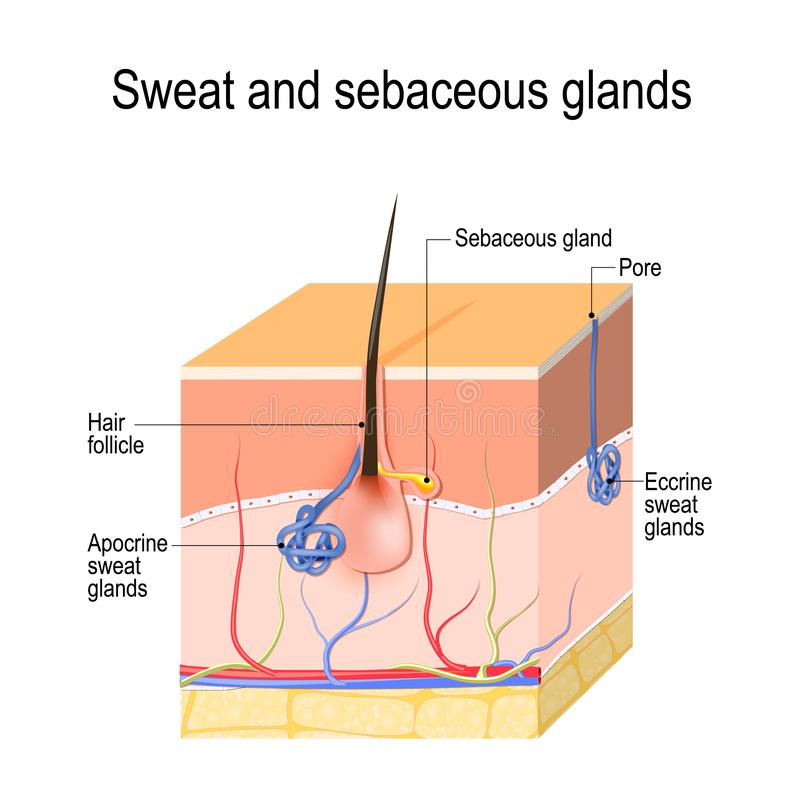 Sweat glands apocrine, eccrine and sebaceous gland. Cross section of the Human skin with hair follicle, blood vessels and glands stock illustration