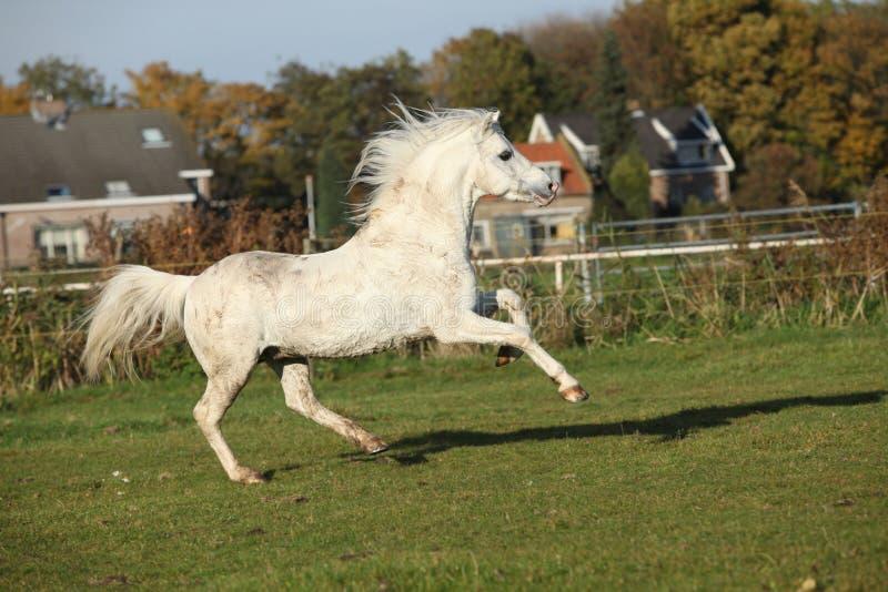 Download Sweaty Welsh Mountain Pony Stallion Stock Image - Image: 30413431