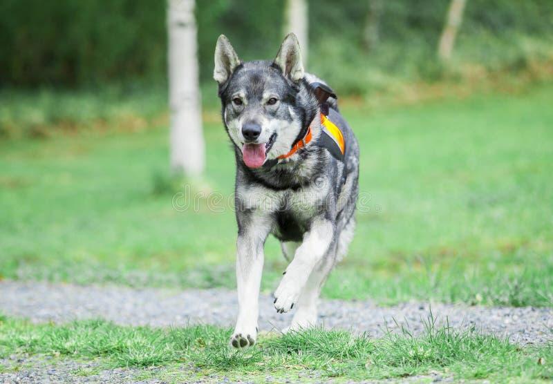 Swedish Elkhound royalty free stock image