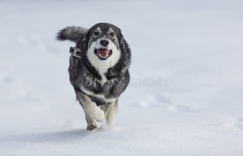 Swedish Elkhound stock image